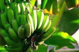 Banana crop abundance linked to length of day
