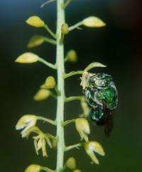 Bees outpace orchids in evolution