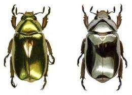 Beetle bling: Researchers discover optical secrets of 'metallic' beetles