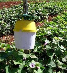 Biocontrol of sweetpotato weevils