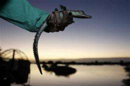 Biologists monitor crocodiles at nuclear plant (AP)
