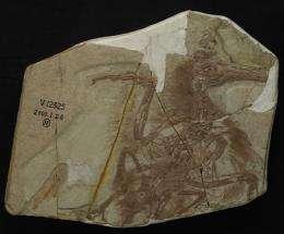 Boluochia closely related to longipteryx, study shows