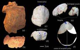 Brain Endocast of Nanjing 1 Homo erectus Reconstructed