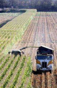 Bugs may be resistant to genetically modified corn (AP)