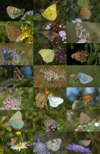 Butterflies: 'Twice-punished' by habitat fragmentation and climate change