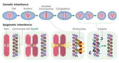 Chromosome centromeres are inherited epigenetically