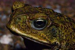 Could tadpole weaponry be used against cane toads?