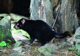 Culling can't save the Tasmanian devil