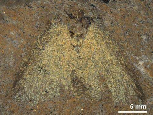Fossil moths show their true colors