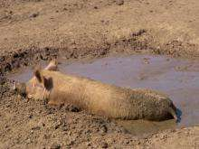 Wallowing in mud is more than just temperature control