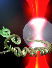 DNA falls apart when you pull it