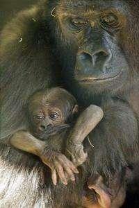 Endangered baby gorilla born at Chicago zoo dies (AP)