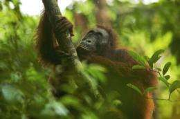 Endangered orangutans offer a new evolutionary model for early humans