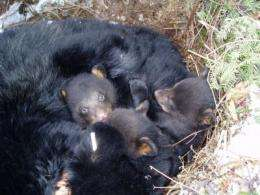 Fast asleep to wide awake -- hibernating bears, predation and pregnancy