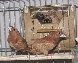 Finches use their own form of grammar in their tweets