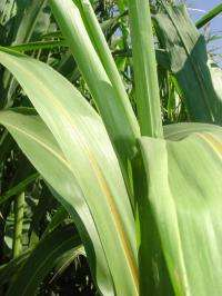 Gene controlling flowering boosts energy production from sorghum