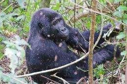 Gorillas, unlike humans, gorge protein yet stay slim
