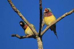 Gouldian Finch females maximize mating opportunities