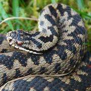 Health check on England's only venomous snake