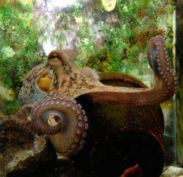 Hebrew University researchers show octopuses make some pretty good moves