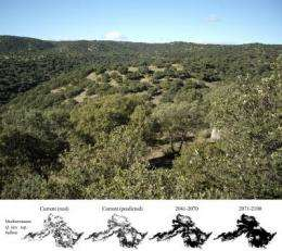 Holm oaks will gain ground in northern forests due to climate change