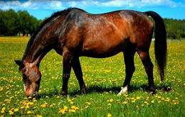 Honey helps heal horses' wounds, researchers find