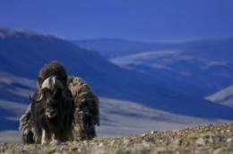 Humans and climate contributed to extinctions of large ice-age mammals, new study finds