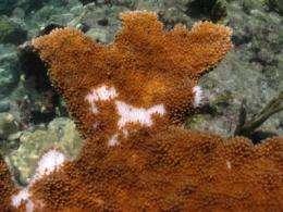 Human sewage kills imperiled coral: study