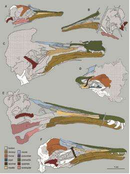 IVPP scientists reveal the skull of extinct birds