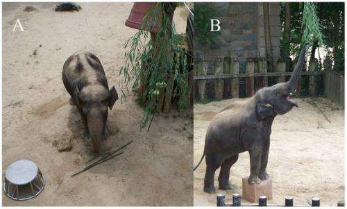 Study shows elephants capable of insight