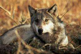 Judge blocks deal on protections for wolves (AP)