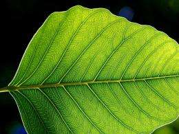 Leafy social network: Scientists study how stomata communicate