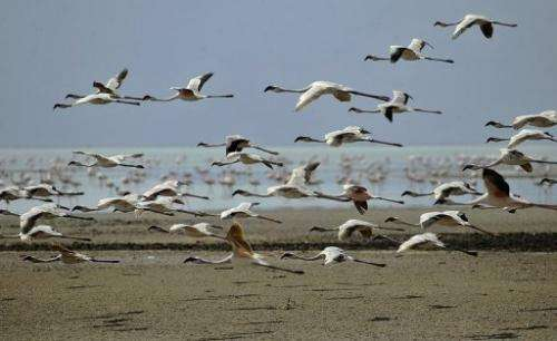 Lesser flamingoes fly over Tanzania's Lake Natron