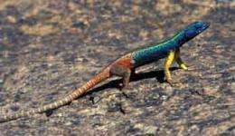 Lizard uses UV signals to ward off rivals