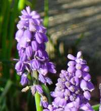 Look out for the first bluebells