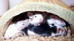 mice, mouse
