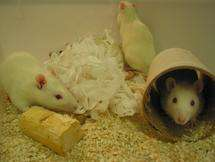 Mouse genetic blueprint developed
