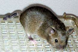 Mutant mouse reveals new wrinkle in genetic code