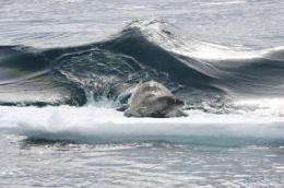 NOAA scientists find killer whales in Antarctic waters prefer weddell seals over other prey