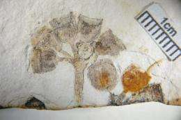 Oldest known Eucalyptus fossils found in South America