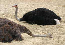 Ostriches sleep like platypuses