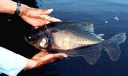 Overfished Amazon fish disperse seeds long distances