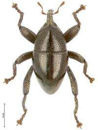 Papuan weevil has screw-in legs