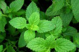 Peppermint earns respect in mainstream medicine