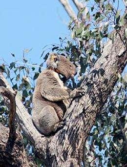 Planting trees arrests koala decline, study finds