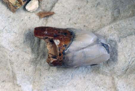Unique canine tooth from Peking man found