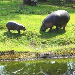Pygmy hippo takes his first swim