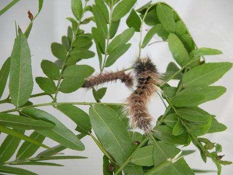 Reeling in a wild silk harvest