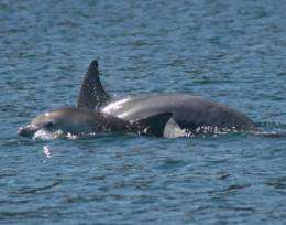 Researcher discovers male bottlenose dolphins using social network to secure a mate