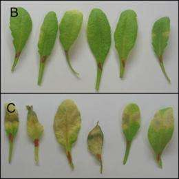 Salmonella uses similar mechanism to infect plants and humans